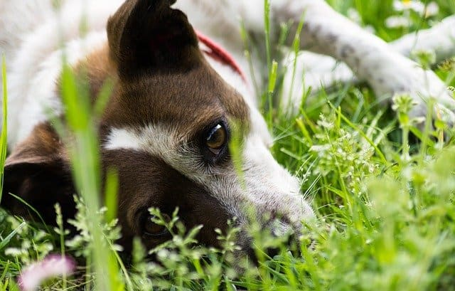 Are Money Trees Toxic to Dogs?