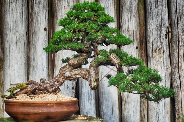 Are Bonsai Trees Good Luck?