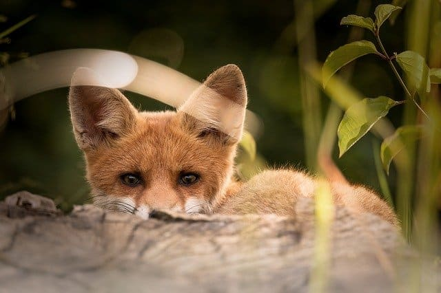 What is the Spiritual Meaning of Foxes?