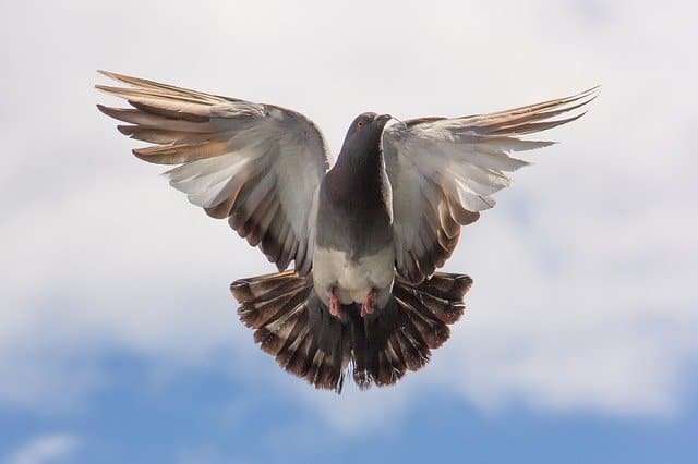 What Is the Spiritual Meaning of Pigeons?