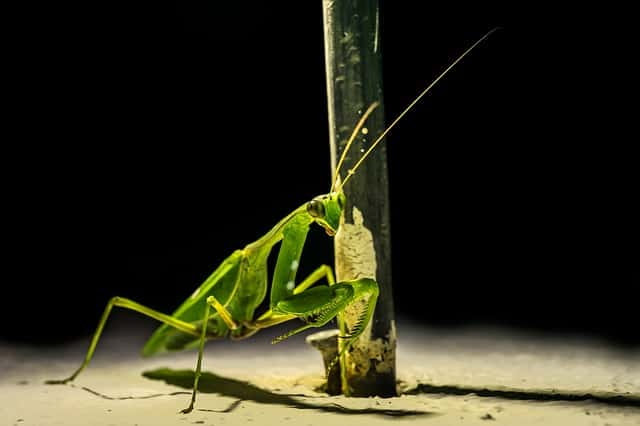 What is the Spiritual Meaning of a Praying Mantis?