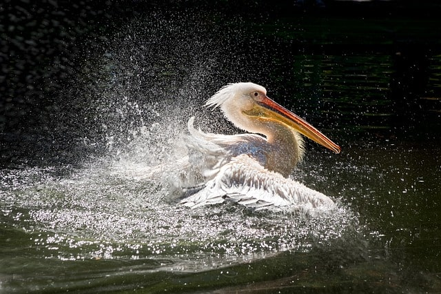 What Is the Spiritual Meaning of Pelicans: Pelican Symbolism